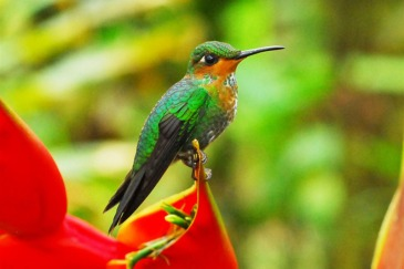 The Green-crowned Brilliant in Costa Rica Photo: UNEP GRID Arendal/Peter Prokosch | Source UN News Centre