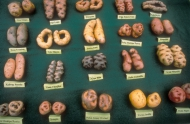 The International Potato Center in Peru saves many kinds of potatoes.| Source: FAO