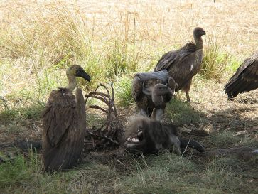 **Photo: A wake (group of feeding vultures) of white-backed vultures eating the carcass of a wildebeest | Author: Magnus Kjaergaard | Wikimedia Commons