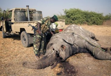 A relatively fresh carcass being turned over to look for bullet wounds on the underside at Zakouma National Park, Chad. Photo: Darren Potgieter/CITES/UNEP