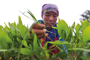 A worker weeding in a nursery in Back Kan, Viet Nam. Photo: FAO/Joan Manuel Baliellas