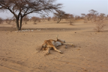 **Photo: Jaspreet Kindra/IRIN | Carcasses dot the sandy landscape in southern Mauritania's Hodh El Chargui region, where a lack of rain has affected both wild vegetation growth and crops.