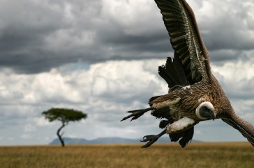 **Photo: Vulture getting ready to strike a dying prey, Kenya | Author: Dmitri1999 at en.wikipedia