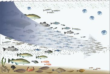 800px-Fishing_down_the_food_web