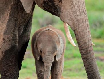 elephant-with-cub