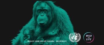 orangutan_wed