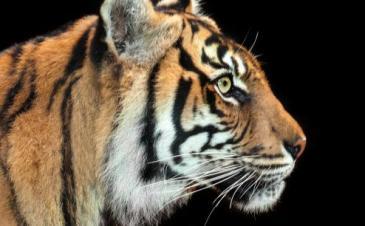 tiger_-_wildforlife