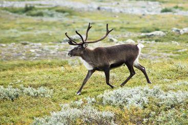 1024px-20070818-0001-strolling_reindeer
