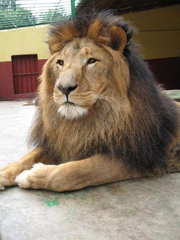 450px-Lion_zoo_Addis_Ababa_2