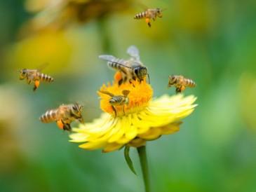 Honeybees-wings-beat-11400-times-per-minute