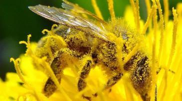 Bee-Pollination_Bee_Dandelion_Zoom2