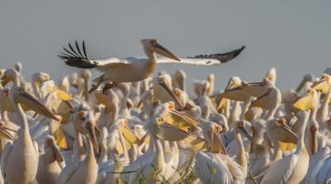 Great White Pelican_Pelecanus onocrotalus_Senegal 2007_copyright Sergey Dereliev_10_0