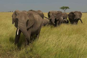 Elephants in the Savanna in KenyaElefanten in der Savanne