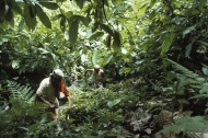 small_Women workers weed and clean around cacao trees in a plantation in Brazil Kate Boldt
