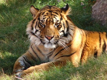 An-Indian-tiger-in-the-wild
