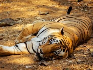 Resting-Indian-Tiger