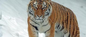 Tiger pexels-photo-302304.jpeg
