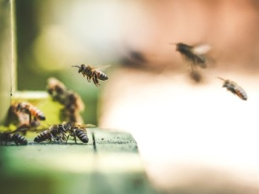 Industrious-Honey-Bees