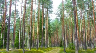 carbon offsets 1 Latvian pine forest, Wikipedia