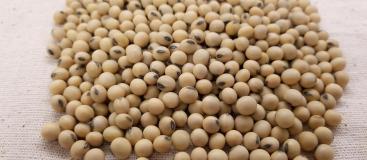 soybean-3754425_1920
