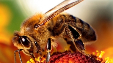 Bee-wikimedia_commons