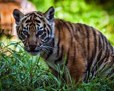 753px-Beautiful_Sumatran_Tiger_Cub_(9711349588)