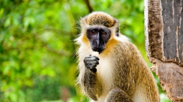 Green_monkey_sm1