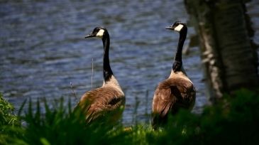 geese-5441275_1920