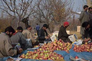 Apple-farmers-in-Kashmir_
