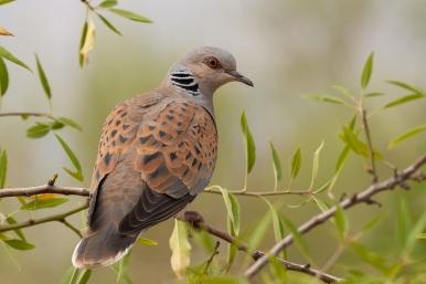 Bird_Mig_4a_European_Turtle_Dove_Streptopelia_turtur_Jordan_May_2007_copyright_Sergey_Dereliev