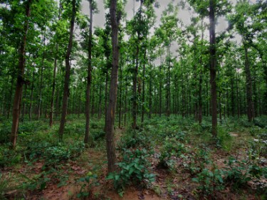 Compensatory-afforestation-in-India-is-often-monoculture-can-never-replace-lost-natural-forests