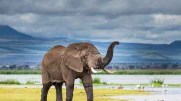 Elephant, Amboseli, Kenya, credit Stephanie Foote